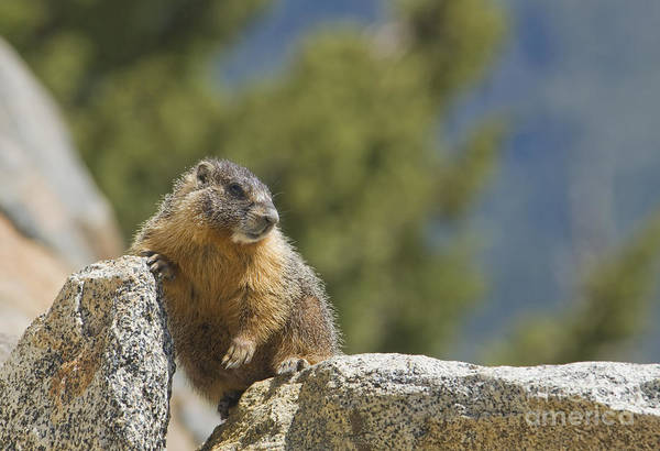 Photograph - Yellow-bellied Marmot by Dan Suzio