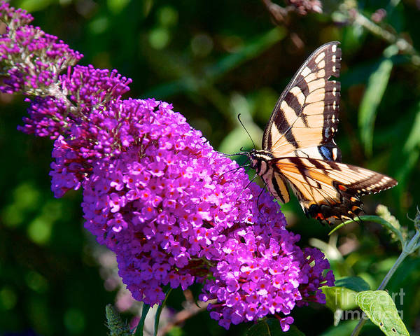 Photograph - Yellow Tiger Swallowtail Papilio Glaucus Butterfly  by Mark Dodd