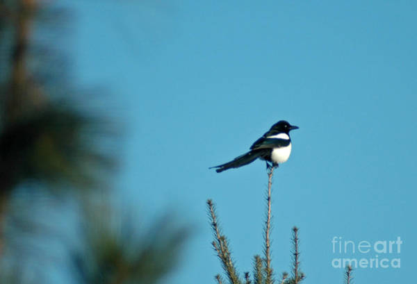 Photograph - 707p Black-billed Magpie by NightVisions