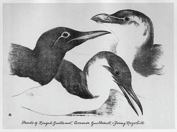 Razorbill Drawing - Blackburn Birds, 1895 by Granger