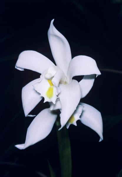 Cymbidium Photograph - Orchid Flowers by Paul Harcourt Davies/science Photo Library