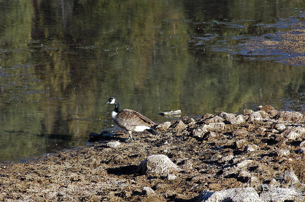 Photograph - 712p Canada Goose   by NightVisions