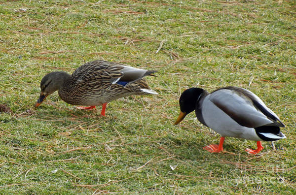 Photograph - 730p Mallard Ducks by NightVisions