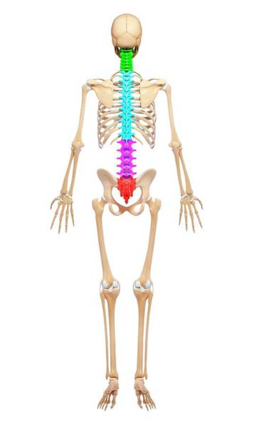 Wall Art - Photograph - Human Skeleton by Pixologicstudio/science Photo Library