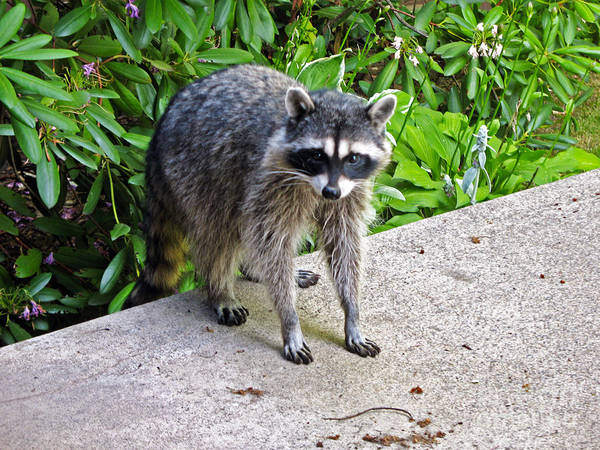 Photograph - 735p Raccoon by NightVisions
