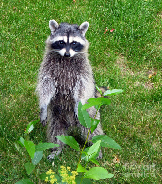 Photograph - 737p Raccoon by NightVisions