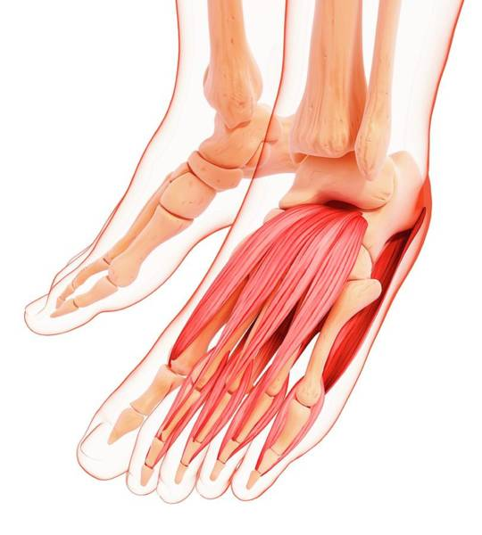 Wall Art - Photograph - Human Foot Musculature by Pixologicstudio/science Photo Library