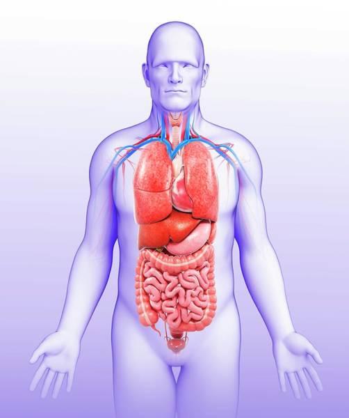 Wall Art - Photograph - Human Internal Organs by Pixologicstudio/science Photo Library