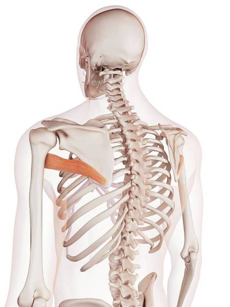 Wall Art - Photograph - Human Back Muscles by Sebastian Kaulitzki/science Photo Library