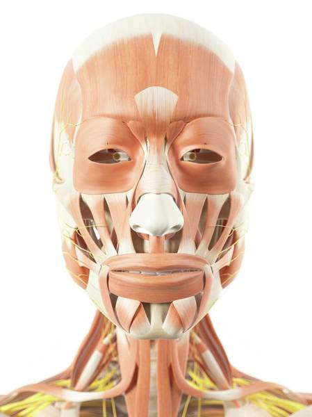 facial-muscles-and-nerves