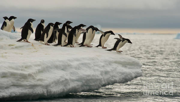 Photograph - Adelie Penguins by John Shaw