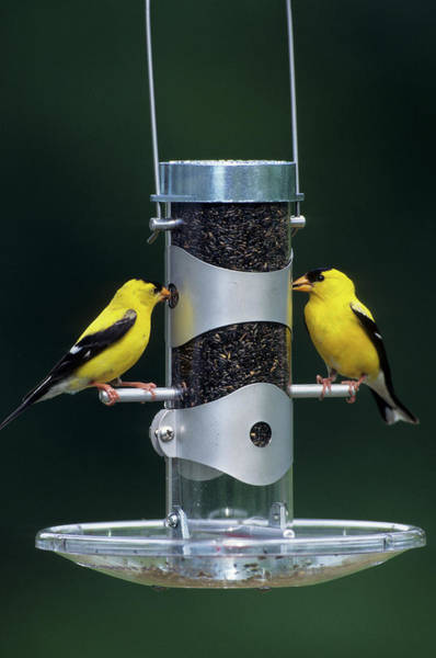 Feeder Photograph - American Goldfinches (carduelis Tristis by Richard and Susan Day