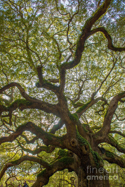 Photograph - Island Angel Oak Tree by Dale Powell