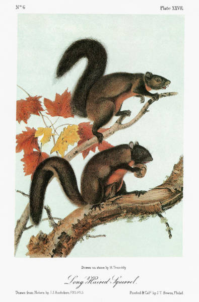 Wall Art - Painting - Audubon Squirrel by Granger