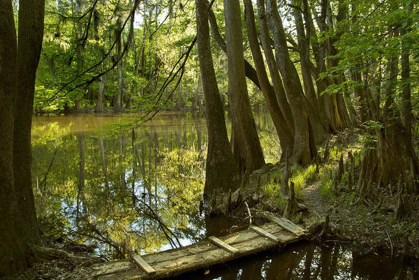 Bald Cypress Photograph - Bald Cypress Swamp by Kenneth Murray