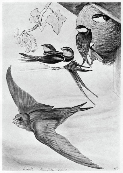 Chimney Swift Wall Art - Drawing - Blackburn Birds, 1895 by Granger