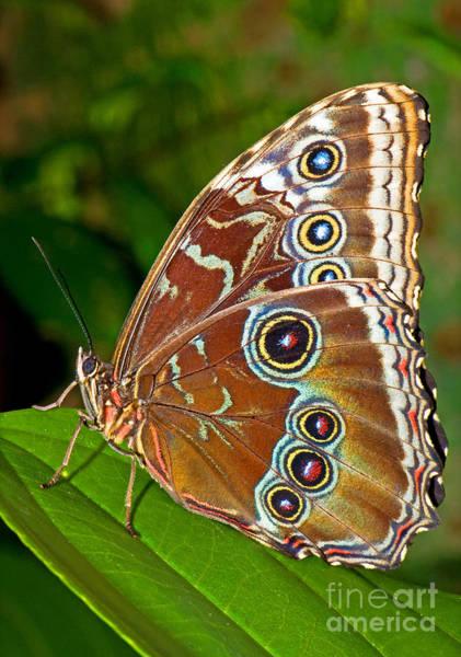 Photograph - Blue Morpho Butterfly by Millard H Sharp