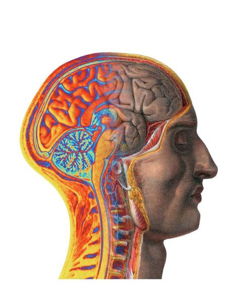 Brain Scan Photograph - Brain by Alfred Pasieka