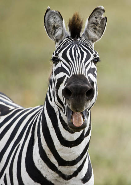 Wall Art - Photograph - Burchells Zebra Equus Quagga Burchellii by Animal Images