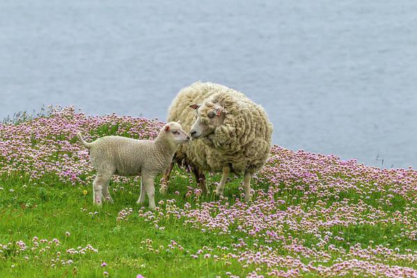 Ewe Photograph - Europe, Scotland, Shetland Islands by Jaynes Gallery
