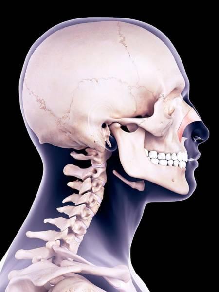 Nasalis Photograph - Facial Muscle by Sebastian Kaulitzki/science Photo Library