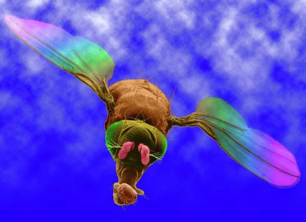 Wall Art - Photograph - Fruit Fly by Dennis Kunkel Microscopy/science Photo Library