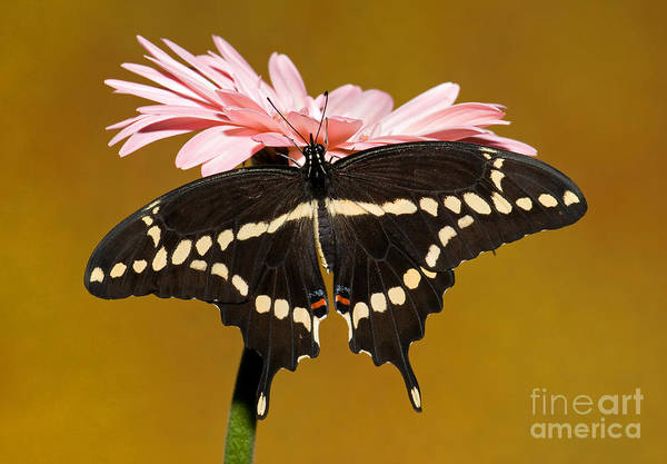 Duval County Photograph - Giant Swallowtail Butterfly by Millard H. Sharp