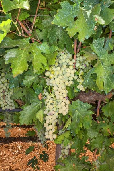 Wall Art - Photograph - Grape Harvest by David Parker/science Photo Library