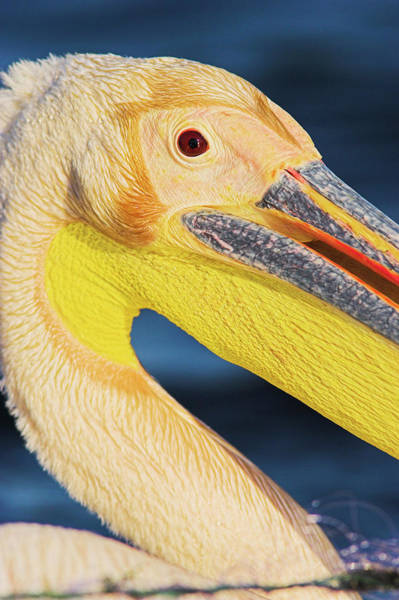 Rosy Photograph - Great White Pelican (pelecanus by Martin Zwick