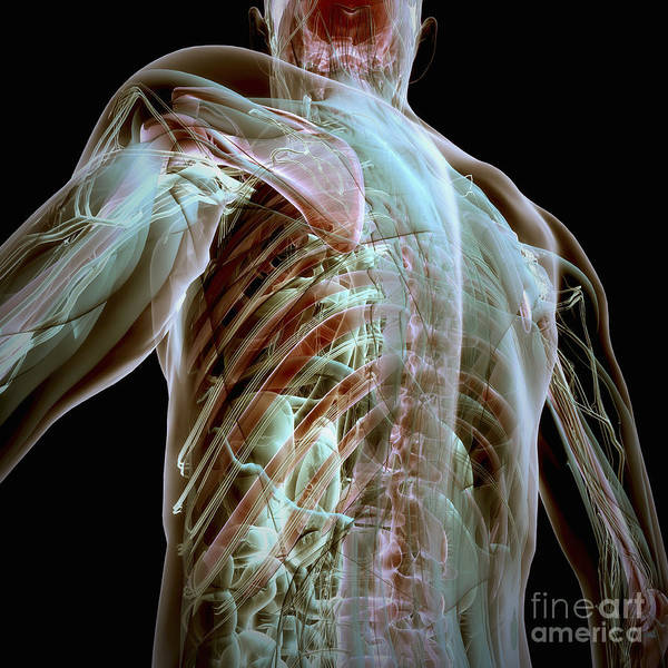 Photograph - Human Anatomy by Science Picture Co