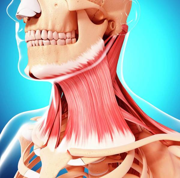 Head And Shoulders Photograph - Human Neck Musculature by Pixologicstudio/science Photo Library