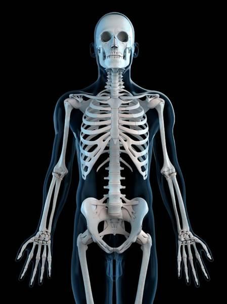 Pelvis Digital Art - Human Skeleton, Artwork by Sciepro