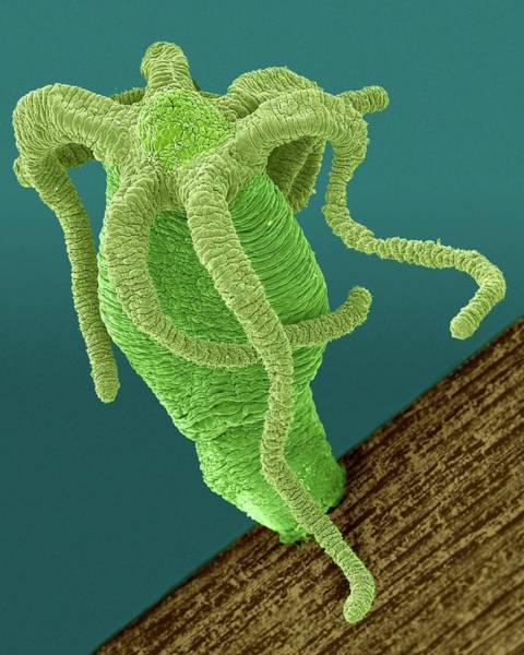 Hydra Wall Art - Photograph - Hydra Sp. (cnidarian) by Dennis Kunkel Microscopy/science Photo Library
