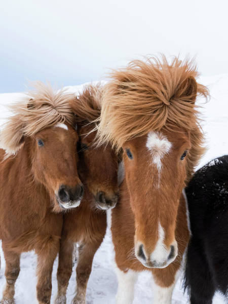 Brown Hair Wall Art - Photograph - Icelandic Horse With Typical Winter Coat by Martin Zwick