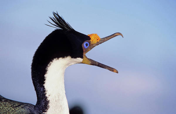 Antarctica Photograph - Imperial Shag Or King Shag by Martin Zwick