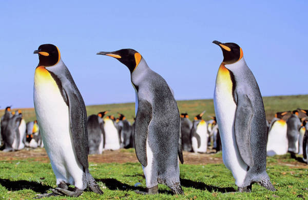 Malvinas Wall Art - Photograph - King Penguin (aptenodytes Patagonica by Martin Zwick
