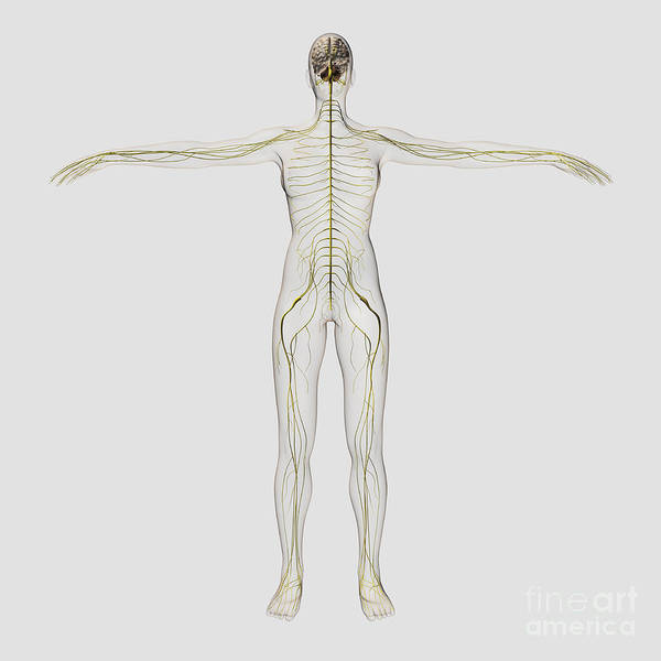Lumbar Plexus Digital Art - Medical Illustration Of The Human by Stocktrek Images