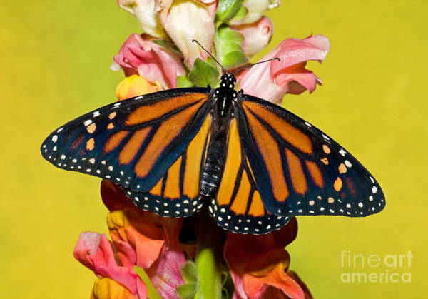 Duval County Photograph - Monarch Butterfly by Millard H. Sharp