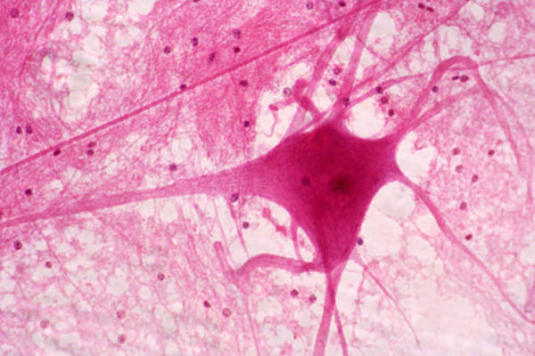 Photograph - Motor Neuron In Ox Spinal Cord, Lm by Science Stock Photography