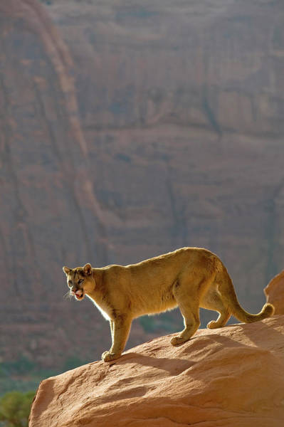 The Mitten Photograph - Mountain Lions In The Western Mountains by Dennis Fast