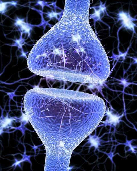 Dendrite Wall Art - Photograph - Nerve Synapse by Alfred Pasieka/science Photo Library