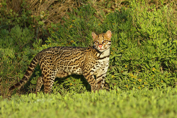 Alert Photograph - Ocelot (felis Pardalis by Larry Ditto