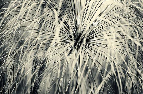 Photograph - Papyrus by U Schade