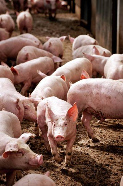 Wall Art - Photograph - Pig Farming by Jim Varney/science Photo Library