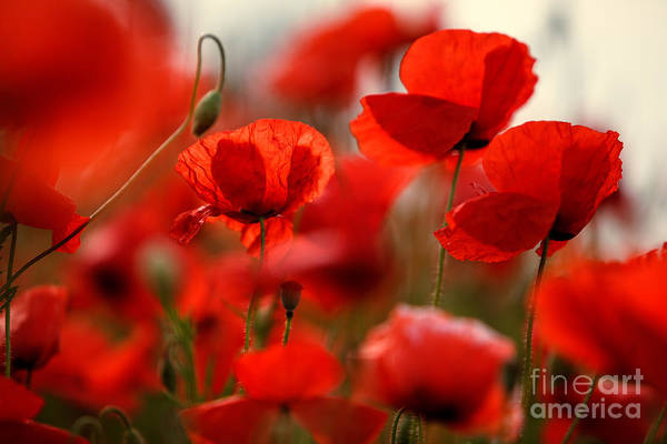 Botanical Gardens Photograph - Poppy Dream by Nailia Schwarz