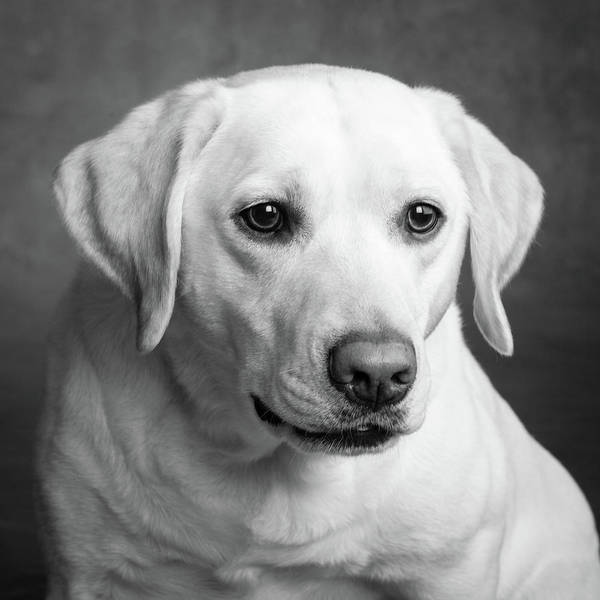 Wall Art - Photograph - Portrait Of A Yellow Labrador Dog by Animal Images