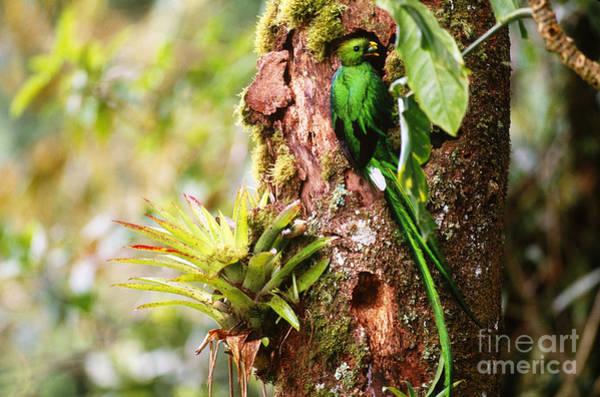 Quetzals Photograph - Resplendent Quetzal by Art Wolfe
