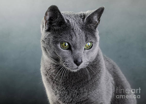 Classy Wall Art - Photograph - Russian Blue Cat by Nailia Schwarz
