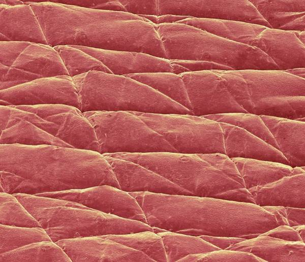 Wall Art - Photograph - Skin Surface by Science Photo Library