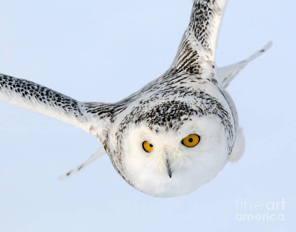 Photograph - Snowy Owl by Scott Linstead